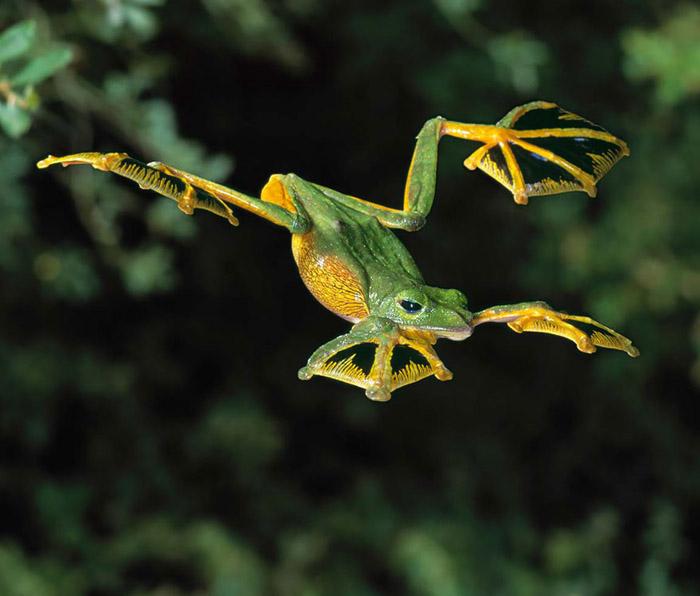 Летящая лягушка.