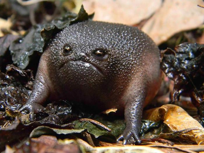 Черная жаба из Южной Америки.