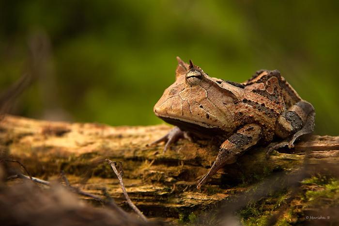 Серьезная лягушка. Фото: Mariska Boertjens.