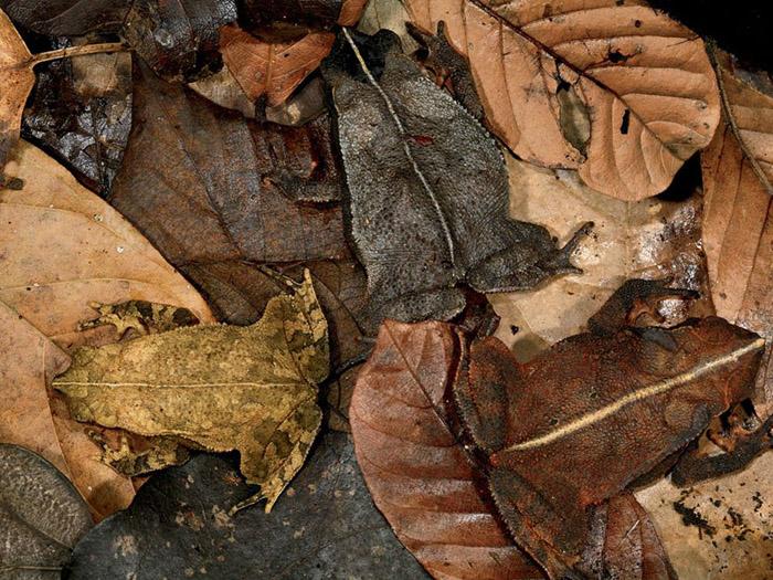 Гуру маскировки. Три лягушки. Фото: Christian Ziegler.