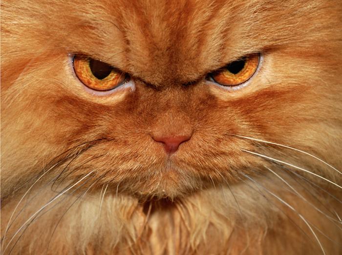 Кот, взгляд которого не сулит ничего хорошего.