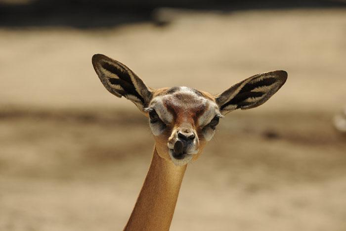 Самка геренука в африканской саванне.