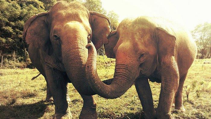 Друзья навеки. Мэй-Пэрм и Йокиа из заповедника в Тайланде.