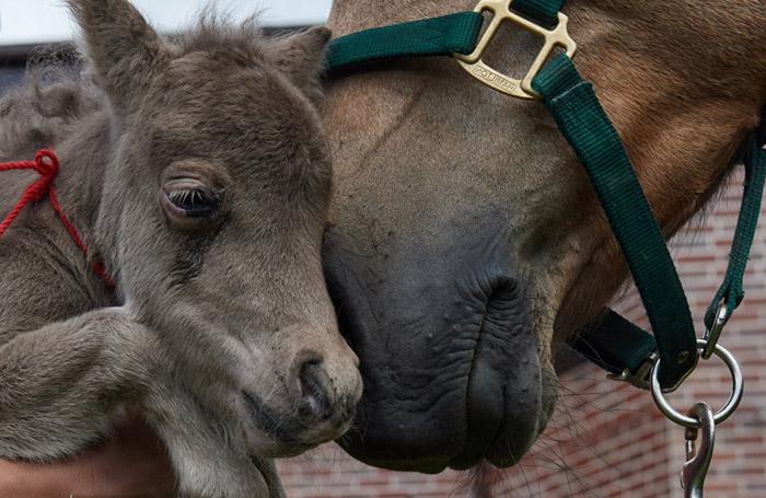 На ферме миниатюрный Гулливер живет рядом с обычными лошадьми.