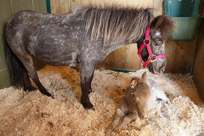 Маму Гулливера Герти купили, чтобы потом перепродать, однако после того, как она родила такого ценного жеребенка, ее решили оставить.