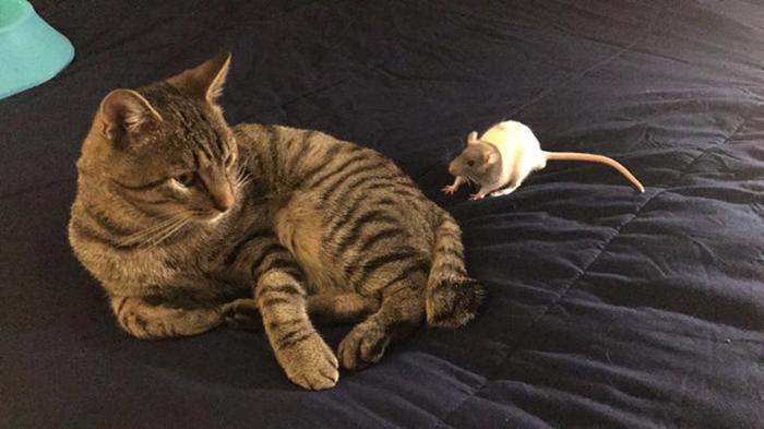 Кот отлично ладит с крысами.