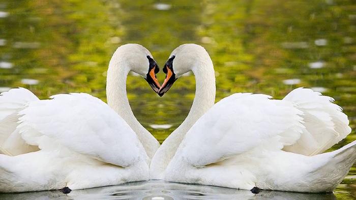 Два лебедя.