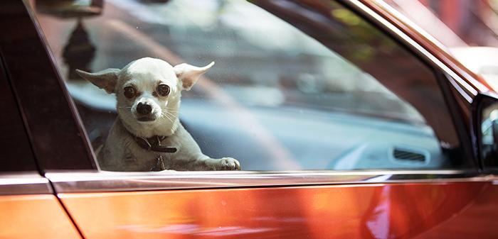 Некоторые владельцы собак считают нормальным оставлять питомцев в автомобиле на солнцепеке.