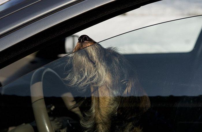 Иногда хватает менее 20 минут, чтобы было поздно для спасения питомца, оставленного в автомобиле.