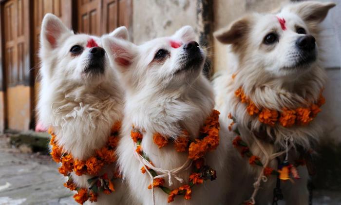Возвеличивание собак на фестивале огней в Непале.
