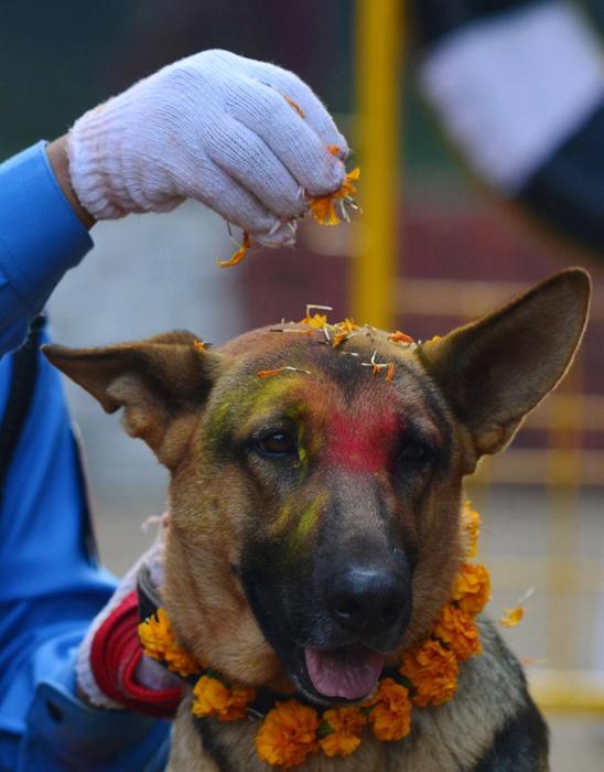 Полицейская овчарка в гирлянде из цветов. Катманду, Непал.