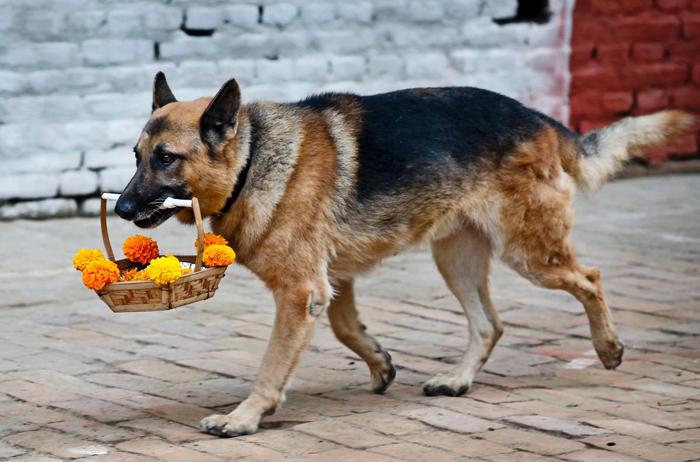 Овчарка несет корзинку с цветами на формальном открытии второго дня фестиваля Тихар.