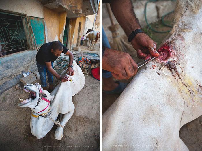 Жуткая рана у верблюда.  Фото: Wiebke Haas.