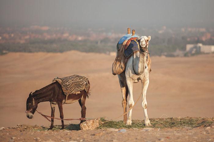 В Каире не хватает свежей травы для крупных животных.  Фото: Wiebke Haas.