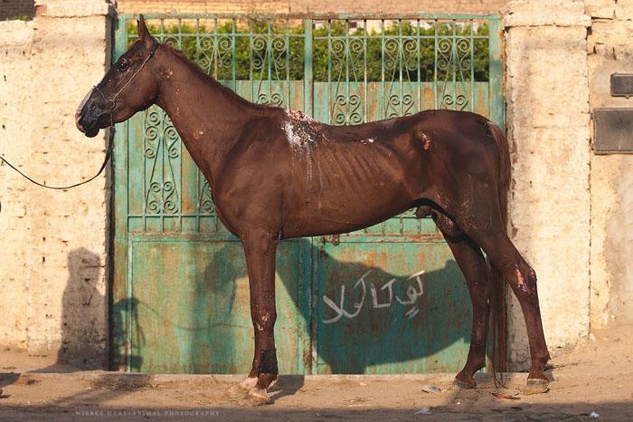 Лошадь с ранами от самодельного седла.  Фото: Wiebke Haas.