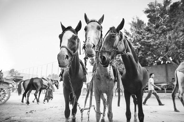 Большинство лошадей в Каире сильно истощены.  Фото: Wiebke Haas.