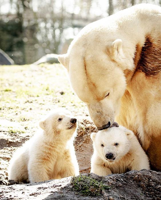 У медведицы родилось сразу два малыша, оба мальчика.