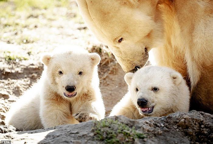 Ближайшие два-три года медвежата останутся с мамой.