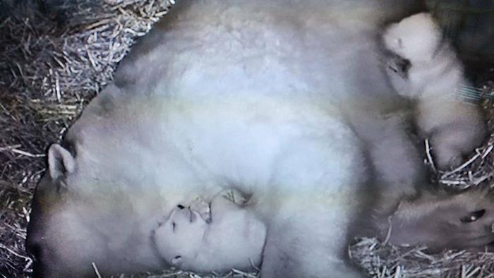 На этом снимке с камеры ночного видения медвежатам полтора месяца.
