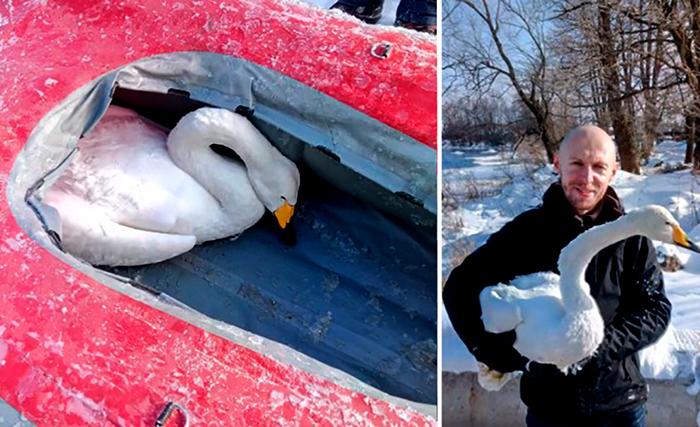 Местные жители Приозерска спасли погибающего лебедя
