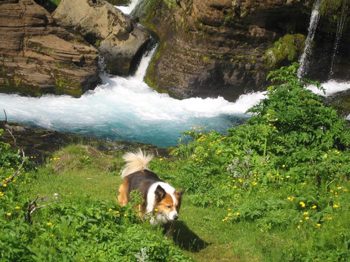 Завести собаку в Исландии не так-то просто.