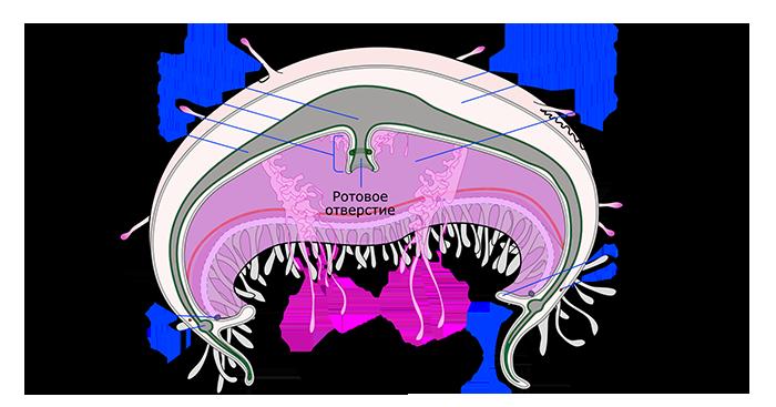 Строение на примере Ушастой аурелии.