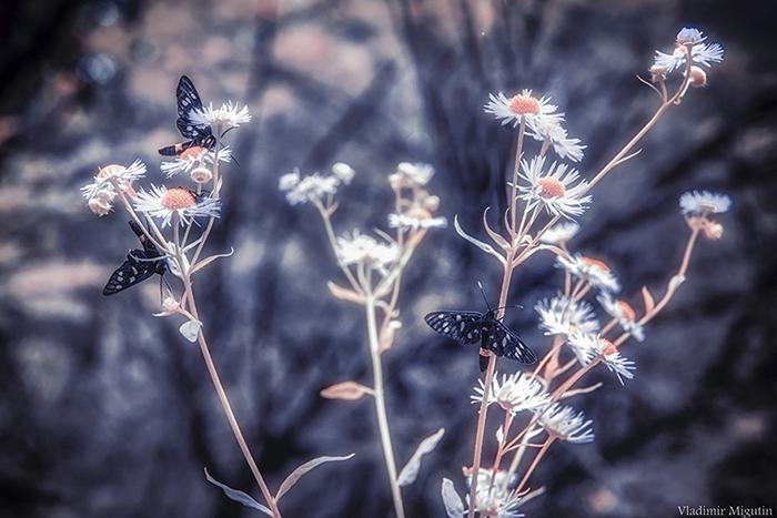 Цветы и бабочки в Припяти. Фото: Vladimir Migutin.