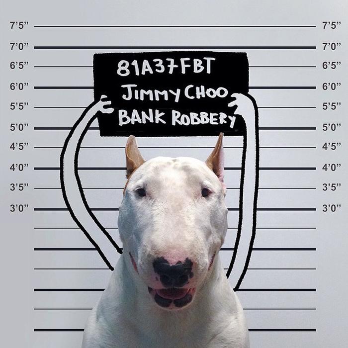 Преступник-бультерьер в объективе Рафаэля Мантессо.