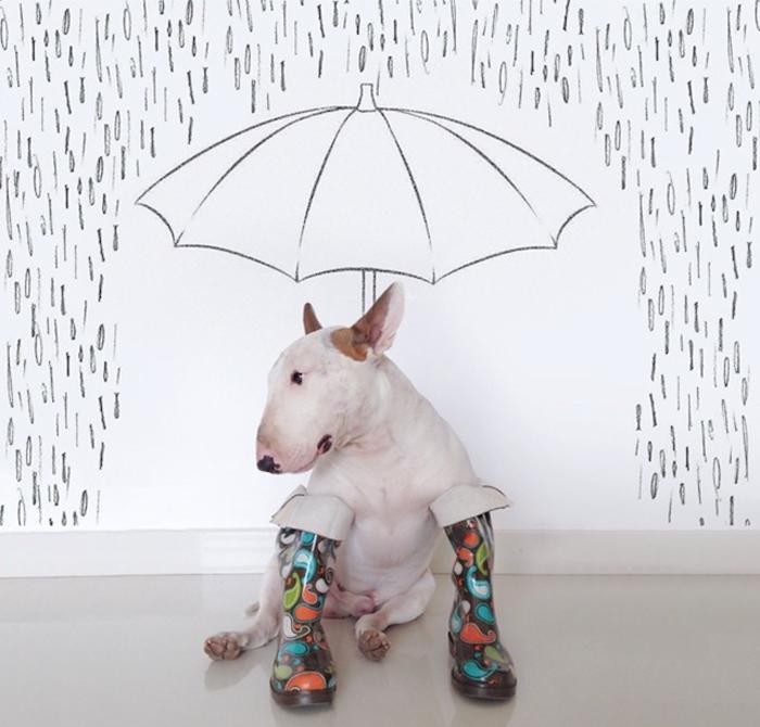 Кажется, дождь собирается - фотосерия с бультерьером Джимми Чу.