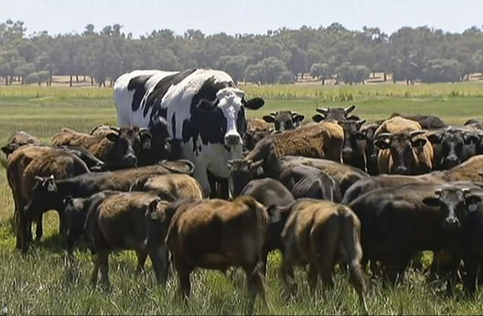 Из-за своих размеров, Никерсу удалось избежать скотобойни, и теперь он доживет до старости на ферме.