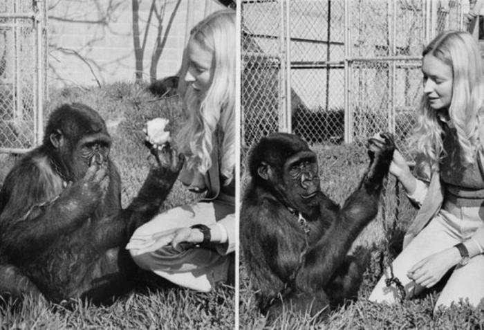 Обучение языку жестов Коко велось в рамках долгосрочного исследования Стэнфордского университета.