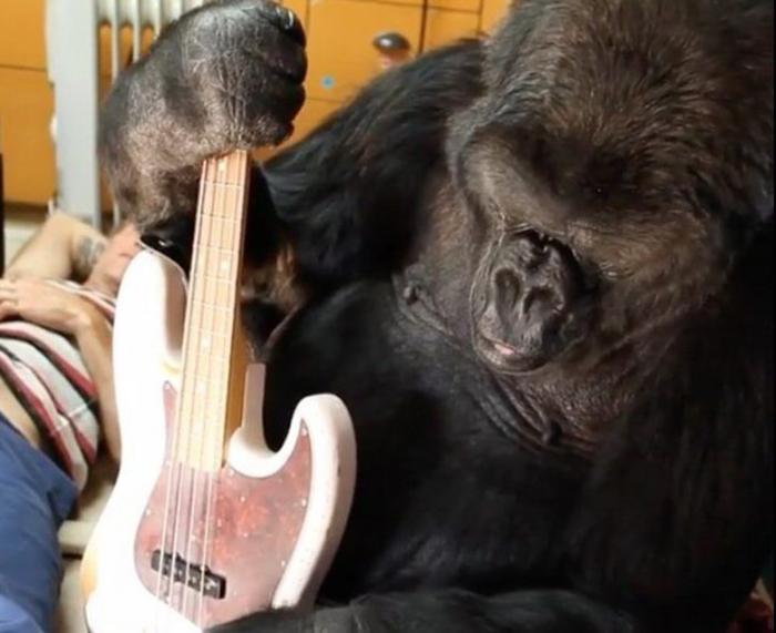 Коко была любознательной гориллой.