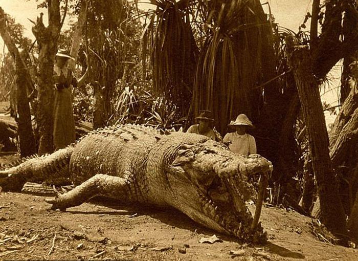 Самый большой крокодил, которого довелось убить в Австралии.
