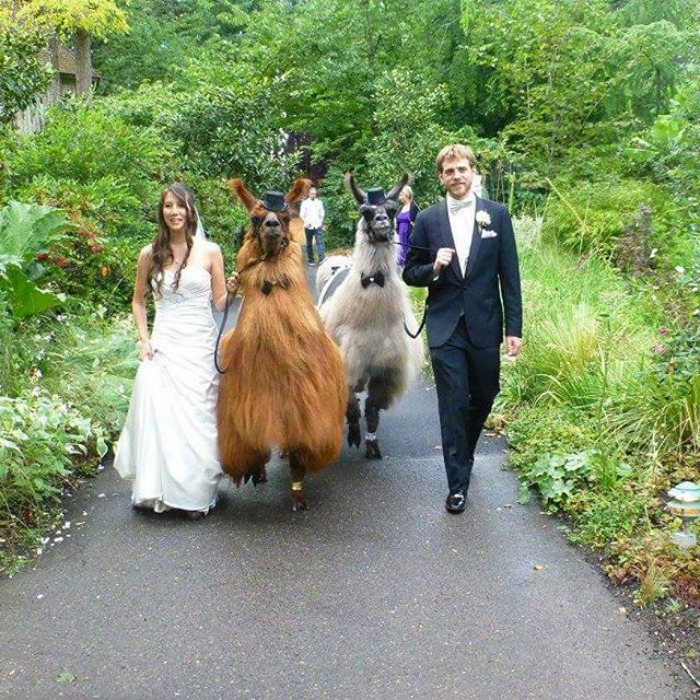 Прогулка с ламами.