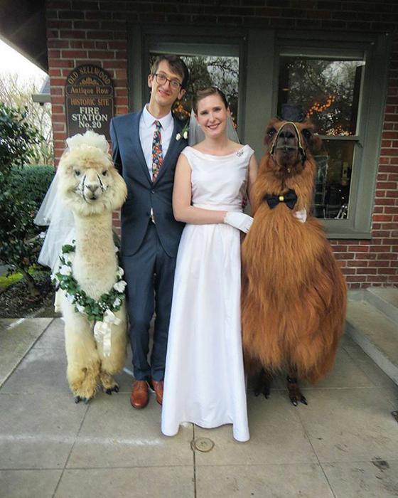 Провести свою свадьбу с приглашенными ламами - что может быть лучше!