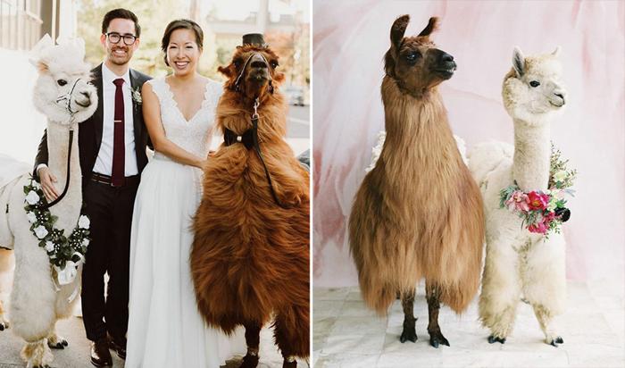 Ламы на свадьбе.