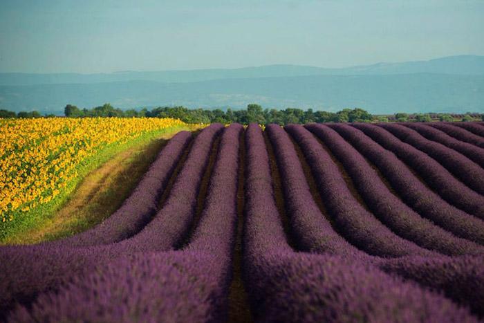 Фиолетовые поля.