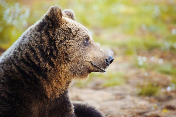 Портрет медведя.