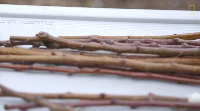 В распоряжении Сэма Ван Акена было более 250 сортов, которые он мог прививать к своим волшебным деревьям.