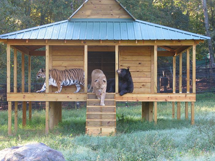 Троица известна как BLT - Bear, Lion, Tiger.