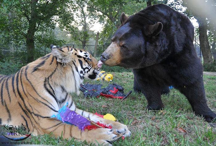 Нередко можно увидеть этих хищников, мирно облизывающих друг друга.