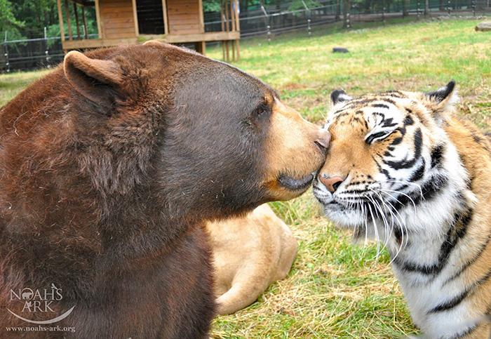 Черный медведь, африканский лев и бенгальский тигр живут в дружбе и гармонии.