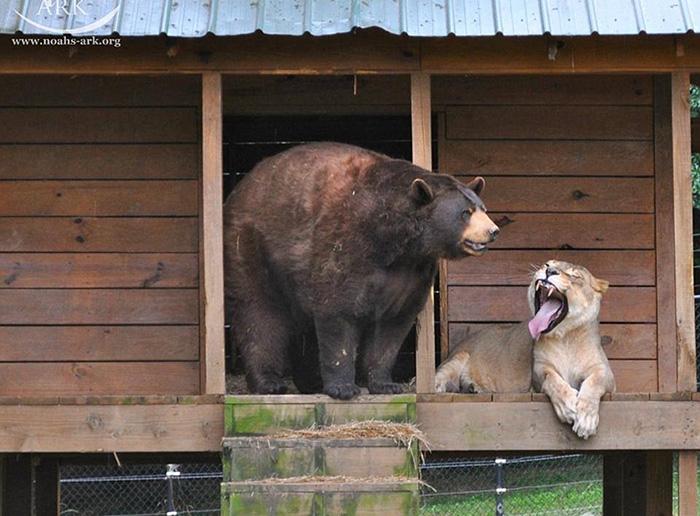 Однако на природе подобный союз невозможен, и здесь, под опекой человека, животные чувствуют себя лучше, чем где бы то ни было.