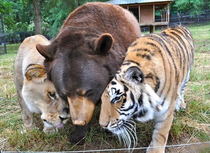Балу, Лео и Шерхан дружно живут вот уже 15 лет под одной крышей на территории приюта для животных.