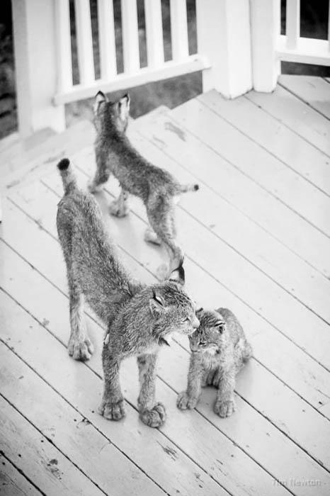 Сначала на крыльцо пришло двое котят, однако позже подошли и остальные. Фото: Tim Newton.