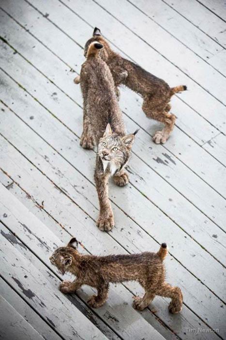Маленькие рыси использовали крыльцо дома как игровую площадку. Фото: Tim Newton.