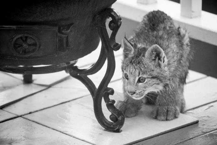 Услышав шум на крыльце дома, Тим Ньютон выглянул из окна и увидел играющих детенышей рыси. Фото: Tim Newton.