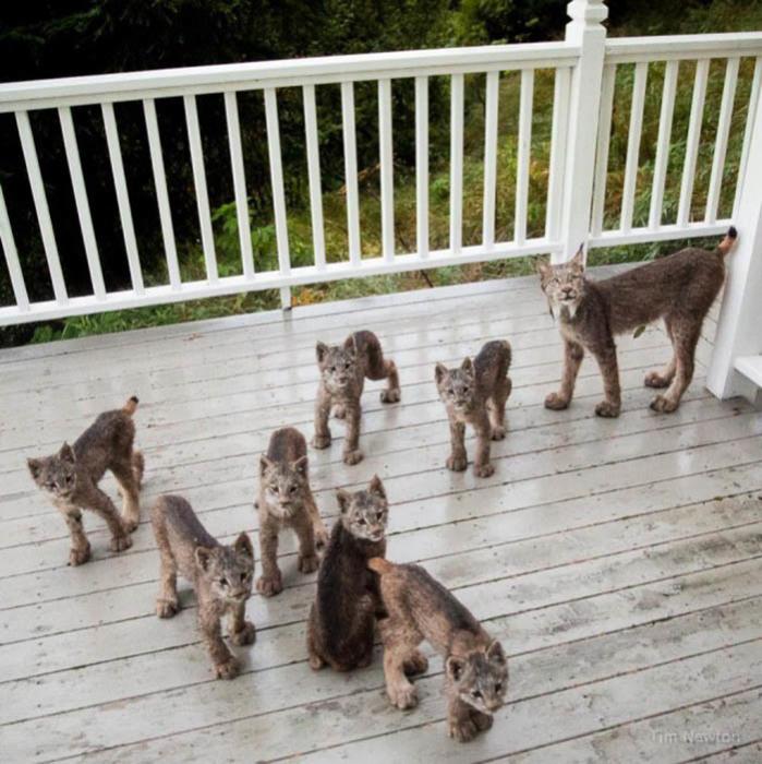 Мама-рысь и семеро детенышей на крыльце дома.  Фото: Tim Newton.