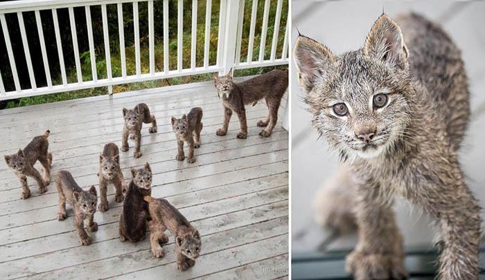 Мама-рысь и семеро детенышей на крыльце дома.