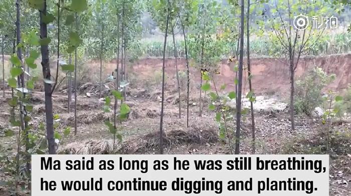 Последнеи 19 лет Ма Сансяо каждый день сажал деревья.